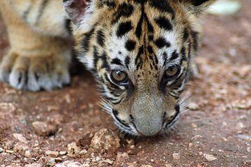 Tiger cub van