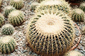 Gouden bal Cactus van