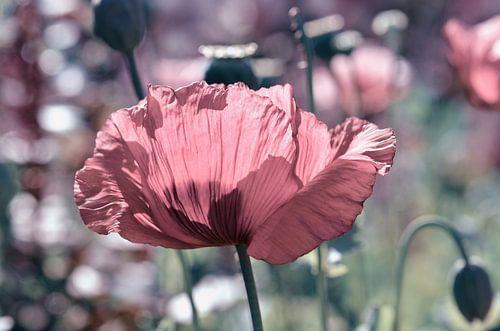 Poppies van Violetta Honkisz