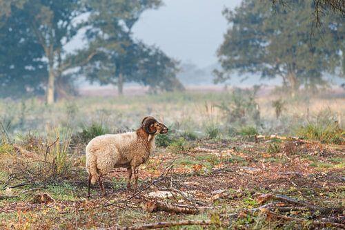 Heideschaap op Balloërveld in Drenthe van Henk van den Brink