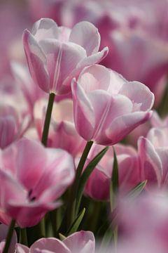 Tulpen / Tulips von Wilco Schippers
