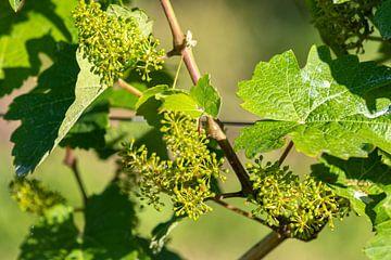 Nahaufnahme einer blühenden Weintraube von Reiner Conrad