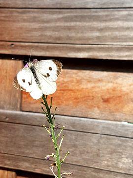 vlinder von Joelle van Buren