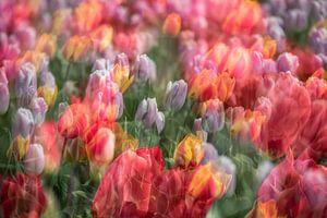 Nederlandse tulpen van