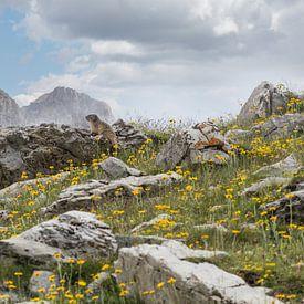 Alpenmarmot in de bergeb van Klaas Hollebeek