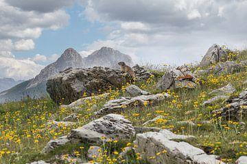 Marmotte de montagne dans les Alpes sur Klaas Hollebeek