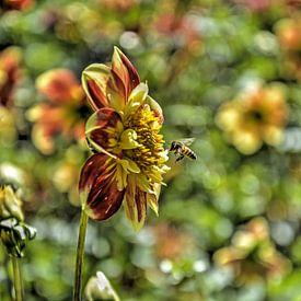 Récolte de miel sur Frans Blok
