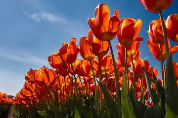 Rood geel oranje tulpen van Ad Jekel