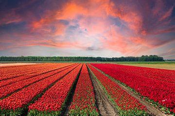 Tulpenveld in de avondzon van Anouschka Hendriks