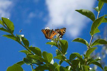 Twee vlinders op de bloei van een Liguster von Berthilde van der Leij