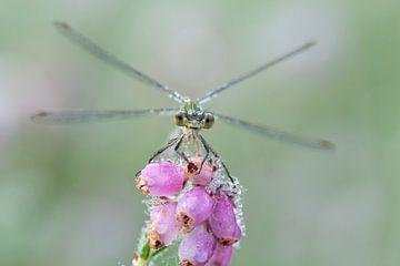 Libelle sagt guten Morgen von Francis Dost