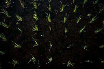Reispflanzen in Bali von Ellis Peeters