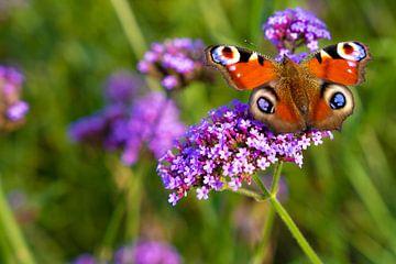 Mehrfarbiger Schmetterling (Tagpfauenauge) auf Blüte (Verbena bonariensis) von Lieven Tomme