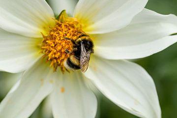 hommel op witte bloem van Ada van der Lugt