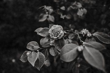 Schwarzer und weißer Rosengarten in Groningen von Jolande Alicia