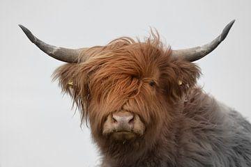 Schotse hooglander kop met grote horens 2 kleurig