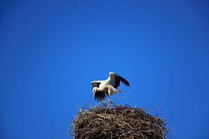 Een ooievaar spreidt zijn vleugels in het ooievaarsnest...