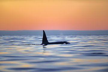 Orka in noord Noorwegen van Koen Hoekemeijer