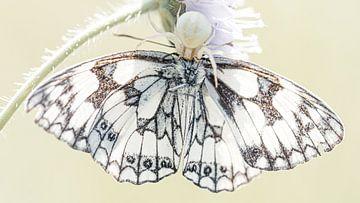 Spin verorbert vlinder van Hennie Zeij