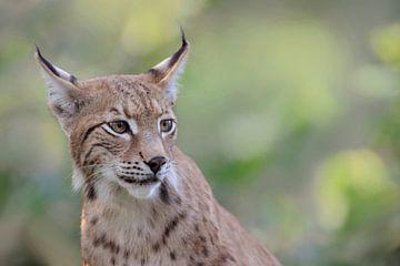 Eurasischer Luchs ( Lynx lynx ), fein detailliertes Porträt, Betonung auf Augen und Pinselohren, san von wunderbare Erde