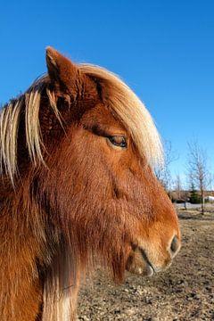 Vriendelijk IJslands paardje van Joke Beers-Blom