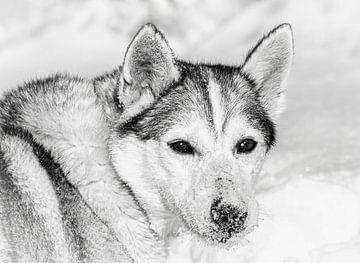 Husky im Schnee, Finnland von Rietje Bulthuis