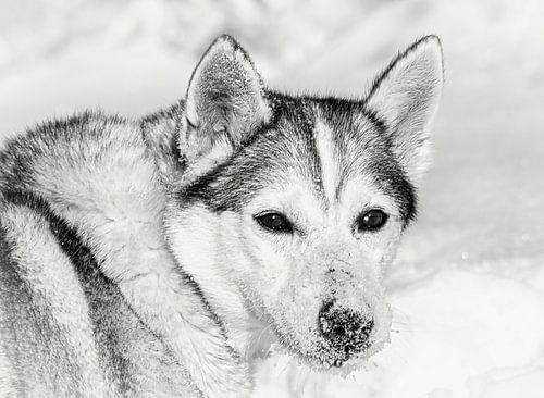 Husky in de sneeuw, Finland