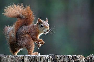 Eichhörnchen von Wim Frank