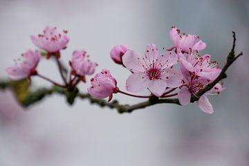 Frühlingsblüte von Jacqueline Volders