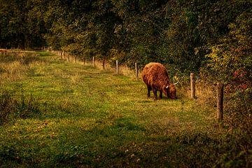 Schottischer Highlander in Drenthe von ina kleiman