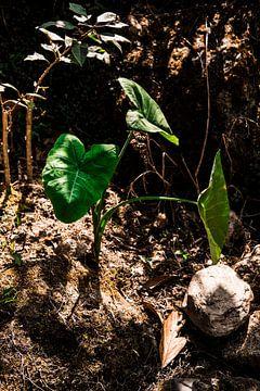 Ihre Zimmerpflanze in Kolumbien von Teuntje Fleur