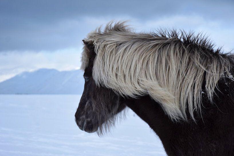 IJslands paard in de IJslandse winter van Elisa Hanssen