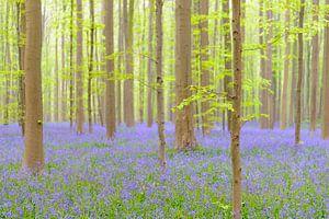 Buche und Bluebell Blumen in einem Wald im Frühjahr