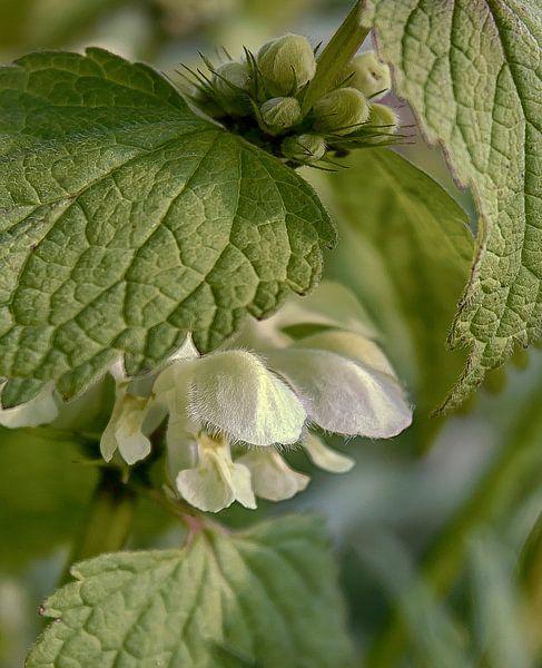 Witte dovenetel van marleen brauers