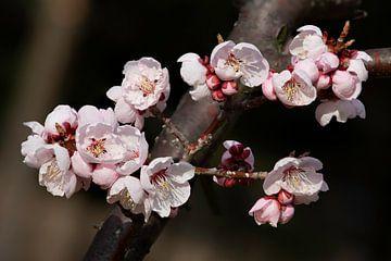 Fleur de cerisier coréenne sur Tristan Lavender