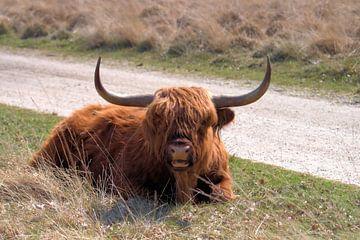 Schotse Hooglander van Merijn Loch
