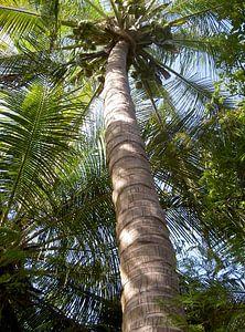 Palmboom van