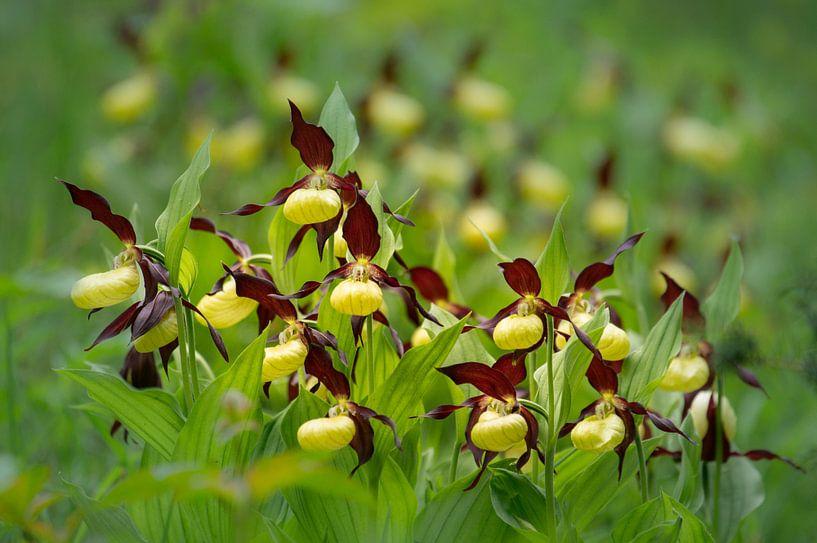 Vrouwenschoentje in volle bloei van Ron Poot