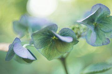Blue Hydrangea van Marianne Rouwendal