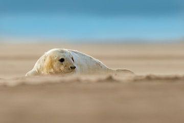 Jonge Grijze Zeehond op het strand van Jeroen Stel
