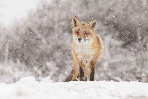 Rode vos in de winter tijdens een sneeuwbui van