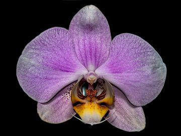 Roze Bloem Orchidea close-up von Rob Smit