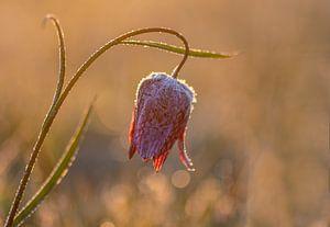 berijpte kievitsbloem bij zonsopkomst van