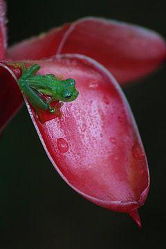Glasfrosch Costa Rica von Berg Photostore