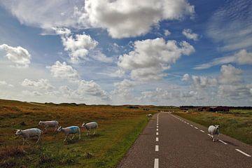 schapen op texel von Dirk van Egmond