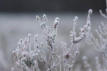 plante de bruyère froide sur Tania Perneel