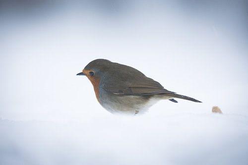 Robin bird in the snow van