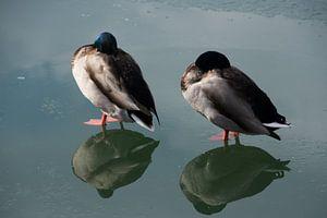 Twee eenden op ijs met hun spiegelbeeld