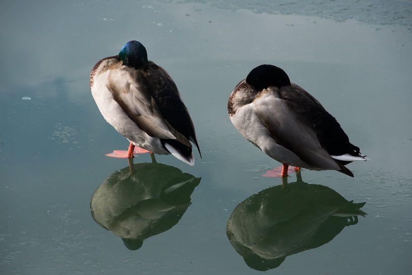 Twee eenden op ijs met hun spiegelbeeld van Manuel Declerck