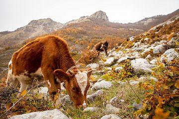 Een koe in de bergen van Albanie van Ellis Peeters